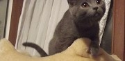 Vends chaton chartreux loof  louvetot