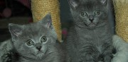 Vends adorables chatons chartreux nice