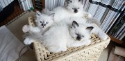 Chatons type sacre de birmanie non loof � adopter grenoble