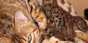 Vends sublimes chatons bengal brown � rosettes ferm�es reims
