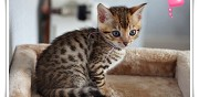 Vends magnifique chaton bengal loof serley