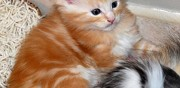Chatons type maine coon disponible de suite nanterre