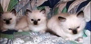 Vends chatons sacre de birmanie toulouse