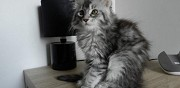 Disponibles 6 chaton type maine coon metz