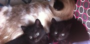 2 petits chatons noirs � adopter sannois