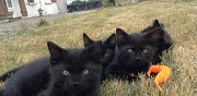 Donne 4 chatons noirs pontgouin