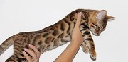 Vends chaton bengal wasquehal