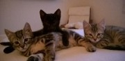 3 chatons � adopter crespi�res