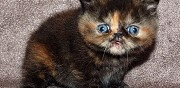 Vends chatons exotic shorthair loof marcillat en combraille