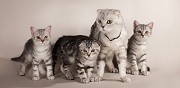 Vends chatons scottish fold et straight nice