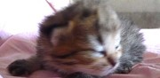 Vends chaton exotic shorthair yeux verts
