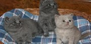 Vends chatons british shortair longhair tourmont