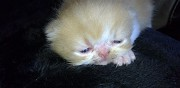 Vends exotic shorthair  hussigny