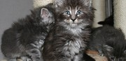 Vends chatons norvegiens loof reims