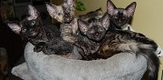 Vends chatons devon rex alen�on