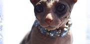 Vends chaton nu don sphynx toulouse