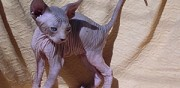 A r�server chatons sphynx marseille