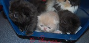 Vends chatons exotic shorthair loof livraison possible