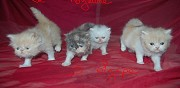 A reserver 4 chatons persan loof