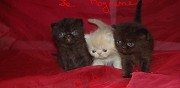 Vends chatons persan exotic shorthair loof
