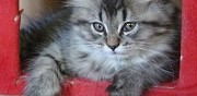 A vendre chaton british longhair villefontaine