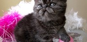 Vente chaton exotic shorthair black smoke loof aix noulette