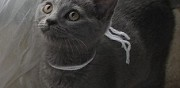 A réserver chatons chartreux loof herry