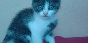 Donne chaton male rimou
