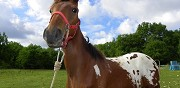 Vends cheval 1 an couleur appaloosa ajat