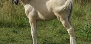 Cheval cathanca des dieux pp oc palomino st hippolyte
