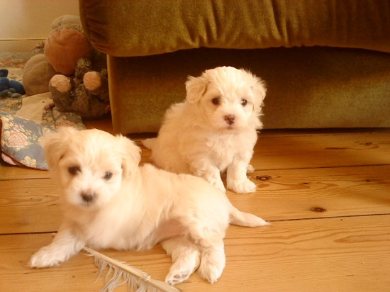 chiens croise chihuahua spitz yorkshire