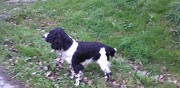 Vends english springer spaniel castelnau de brassac