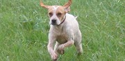 Chienne crois�e �pagneul et beagle � adopter adpk rennes