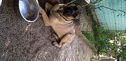 Vends bullmastiff male vallauris