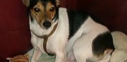 Jack russel terrier � donner  paris