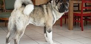 Chien type akita am�ricain � vendre ermont