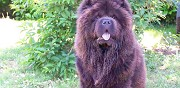 Chow chow disponible pour saillie jonage