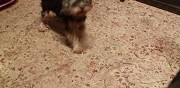 Chien yorkshire terrier � adopter hanches