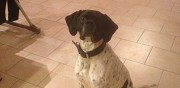 Chien pointer anglais perdu bruille saint amand
