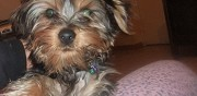 Vends chiot type yorkshire terrier pure race agde