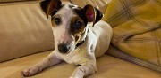Vends chienne type jack russell pompey