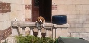 M�le beagle disponible pour saillie laigneville