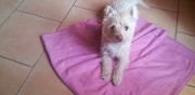 Chienne 1 an type cairn terrier � adopter fuveau
