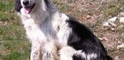 Border collie � adopter saint mathieu de tr�viers