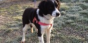 Chienne border crois� springer � adopter chanteloup