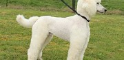 Vends grand caniche royal m�le adulte lof et confirm� ambonnay