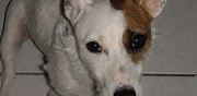 Jack russell pour adoption rochefort