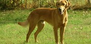 Perdu chien crois labrador sable buzet sur base