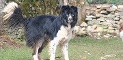 Donne border collie dijon