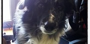 Donne border collie 2ans thiais